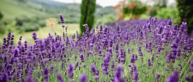 Polz Garden Lavendel
