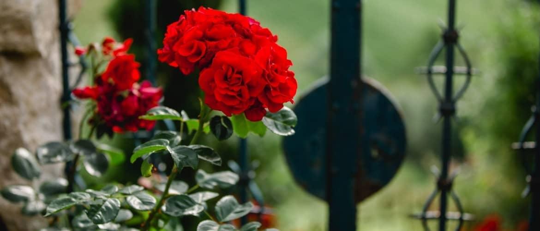 polz garden roses