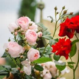 Rote und blassrose Blüten im Garten Polz