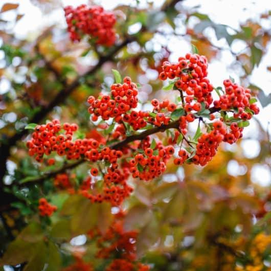 Sauvignon Blanc , Zypressen, Dahlienblüten, Morgenstimmung im Weinberg und Garten aus dem Südsteiermark Garten Renate Polz Wineandgardens als Vision Biodiversität austrian gardens mediterran garden steiermark garten