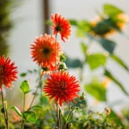 Südsteiermark Garten Dahlienblüten Herbst Gartenführungen