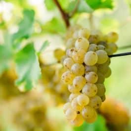 @south styria garden polz renate austrian wines austrian garden wine and garden wineandgardens wine hochgrassnitzberg sauvignon blanc