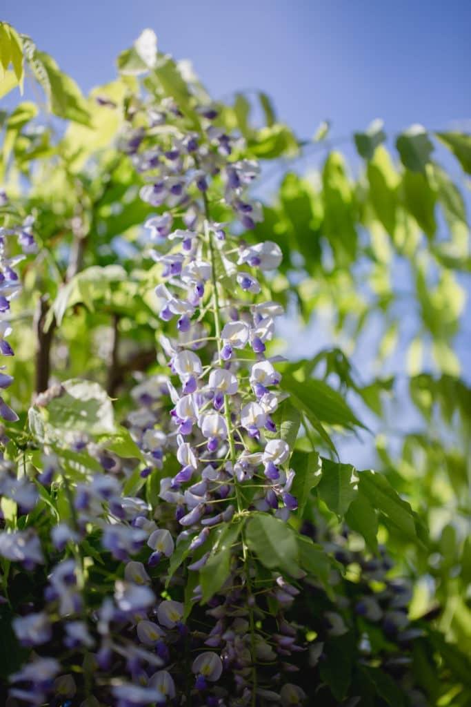 Steiermark Frühling im Südsteiermark Garten Polz Blauregen