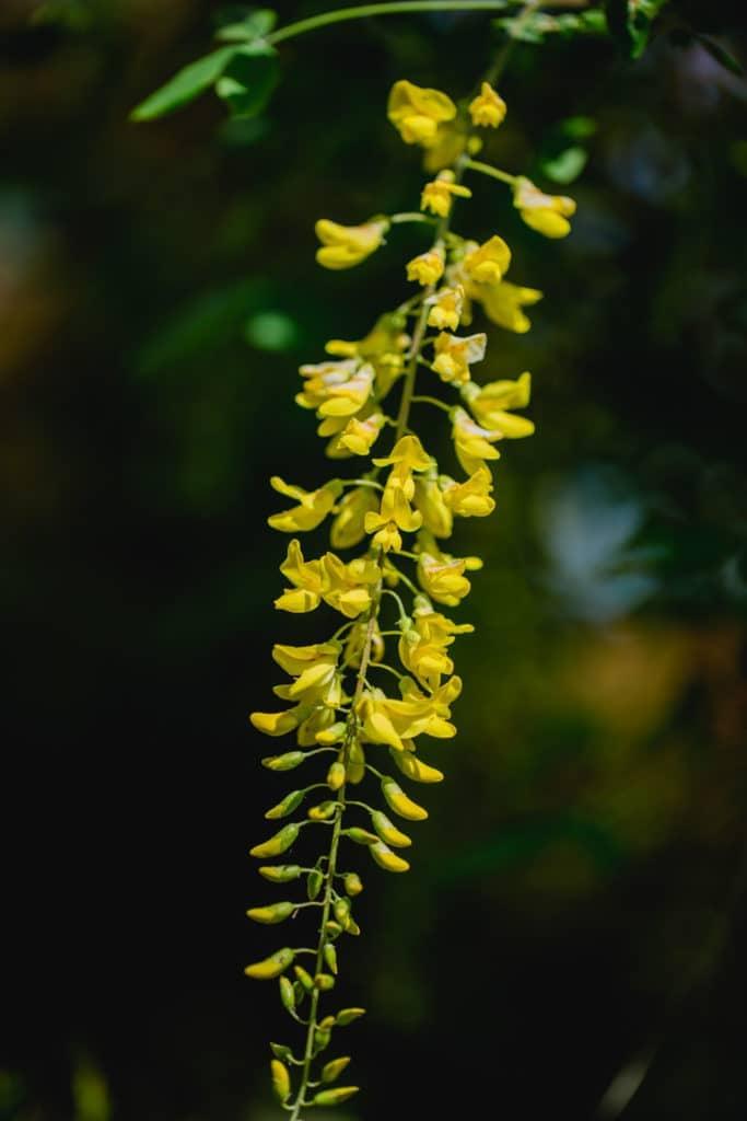 Steiermark Frühling im Südsteiermark Garten Polz Goldregenblüte