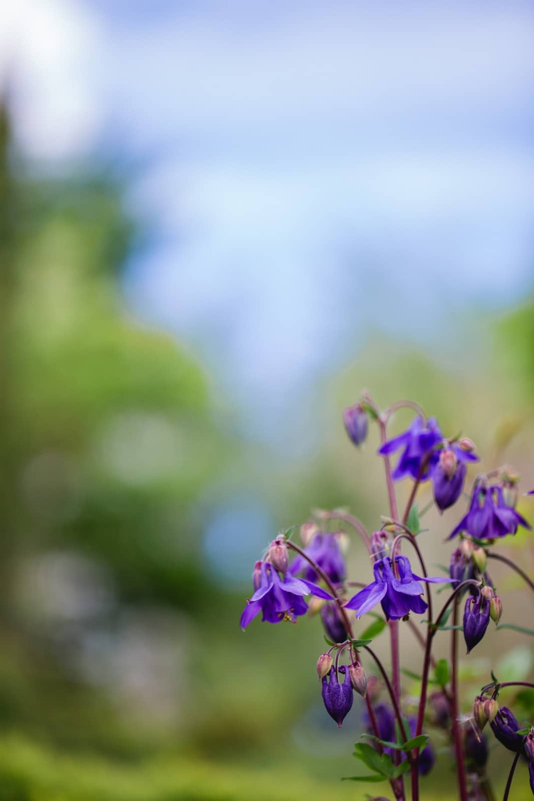 Steiermark Frühling im Südsteiermark Garten Polz Akelei alte Sorten