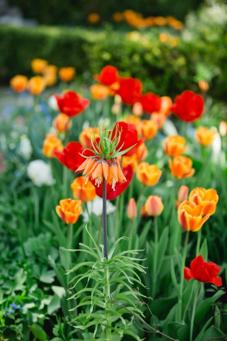 Frühling Südsteiermark Garten Polz Steiermark Tulpenpracht