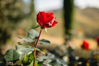 @Südsteiermark Garten Polz Herbst & Rosenblüte im Oktober