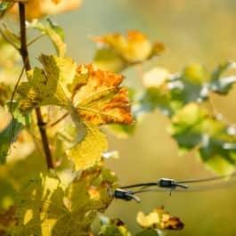 @Südsteiermark Garten Polz Die Poesie und Schönheit eines Sauvignon Blanc Weinblattes im Herbst