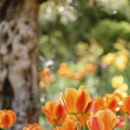 Tulpenpracht im@Südsteiermark Garten Polz Frühling im austria gardens steiermark garten dokumentierte Führungen im Garten & Weinberg Gartenkultur vom Feinsten 90 Minuten lang !