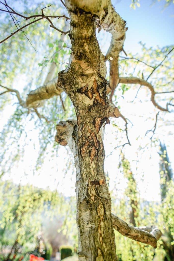Weinberg & Garten Morgenführung durch den austria garden steiermark garten südsteiermark mit renate polz stille und morgensonne einatmen ankommen ausatmen hängebirke im frühlingskleid