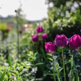 Botanische Führungen Tulpenpracht im @Südsteiermark Garten Renate Polz Austria gardens Steiermark Garten ein Traum zwischen Weinberg & Garten am Hochgrassnitzberg