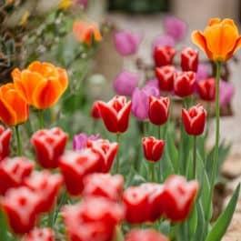 Kommentierte Gartenführung @Südsteiermark Garten Renate Polz Tulpenblüte Frühling austria gardens steiermark garten Naturerlebnis inmitten der Weinberge