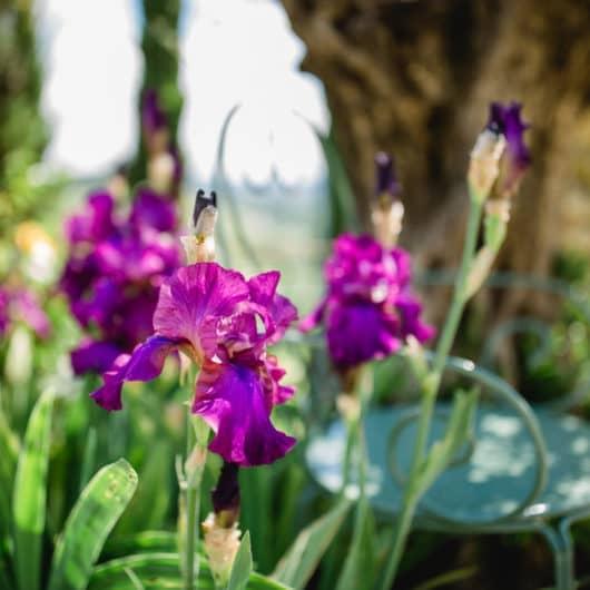 @Südsteiermark Garten kommentierte Gartenführungen inmitten der Botanik am Hochgrassnitzberg Weinberg Rosen Zypressen Lavendelträume Bioblumen Garten und Weinkultur vom Feinsten mit Renate Polz